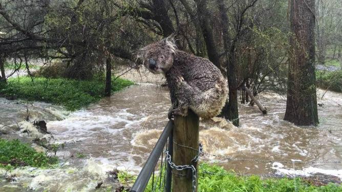 Zagubiony, przemoknięty koala <br />ratuje się przed powodzią