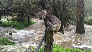 Zagubiony, przemoknięty koala ratuje się przed powodzią