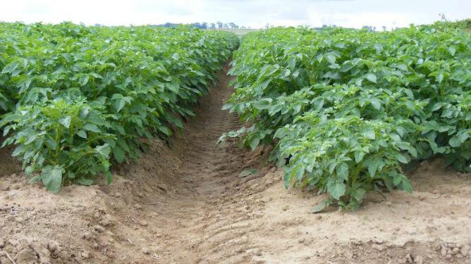 Ziemniaki i buraki szczególnie zagrożone.  Najnowszy raport o suszy