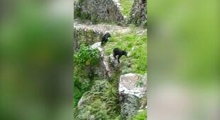 Dwa niedźwiedzie spacerujące po Machu Picchu