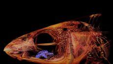 Cymothoa exigua (koloru fioletowego) zjada język ryby (źródło: Kory Evans)