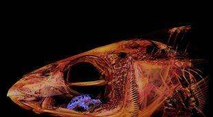 Cymothoa exigua zjada język ryby (Kory Evans)