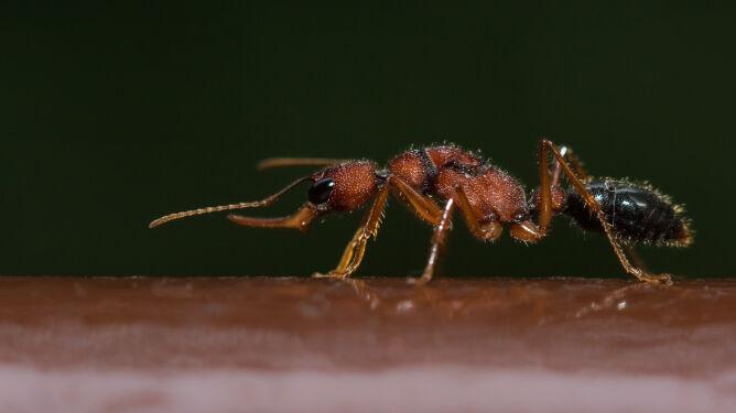 Mrówki z gatunku Harpegnathos saltator